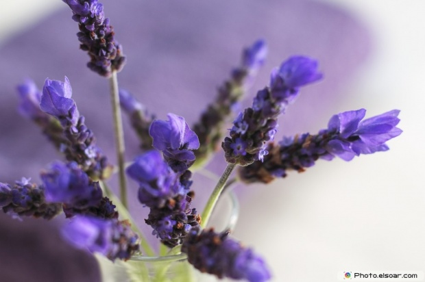 Beautiful Lavender Flowers Picture