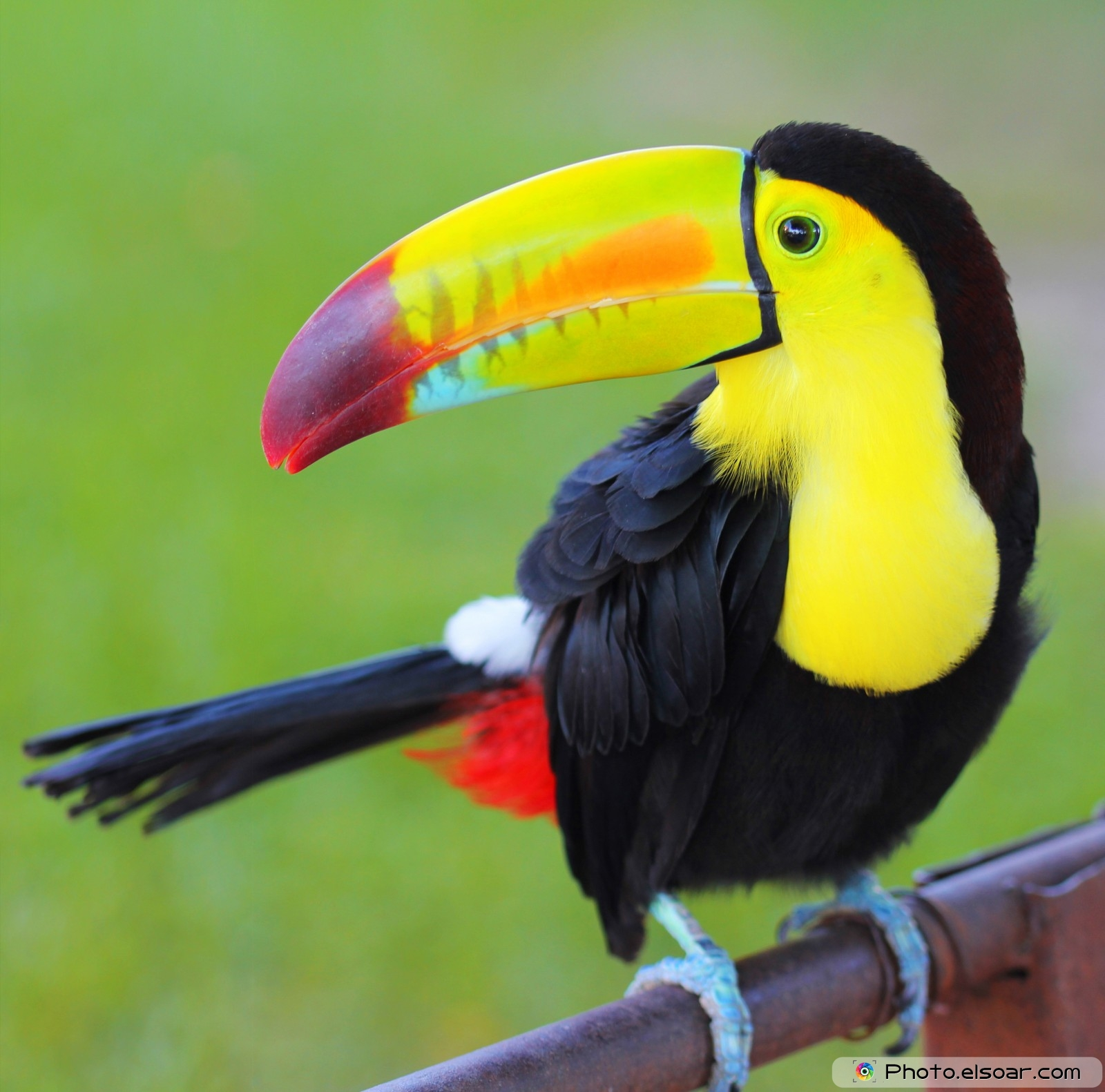 Displaying 16> Images For - Toucan... Baby Toco Toucans