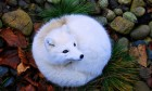 12. JPEGs | So Cute & Adorable Arctic Foxes