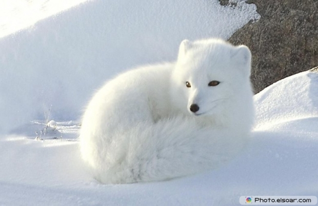 12 Jpegs So Cute Amp Adorable Arctic Foxes Elsoar