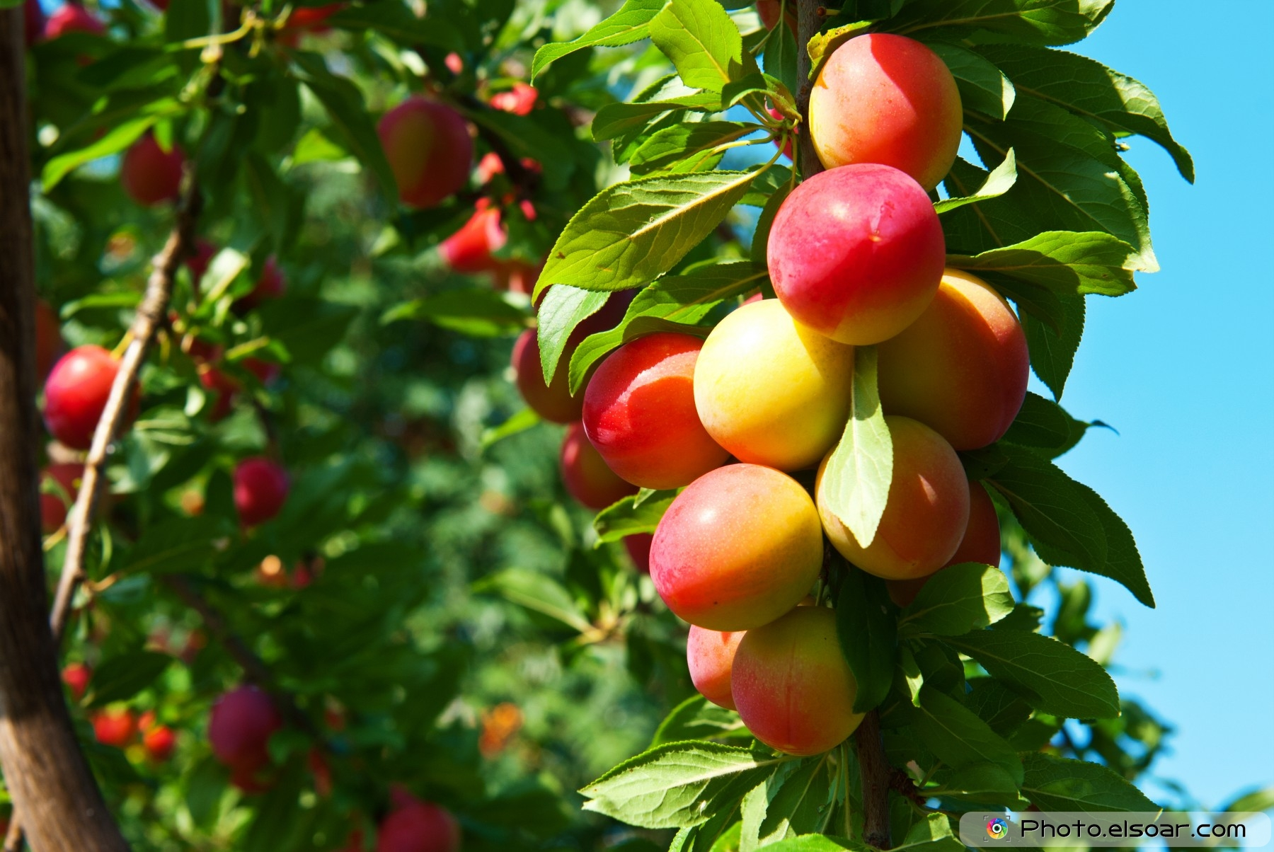 fruit trees. names with pictures  elsoar, Natural flower