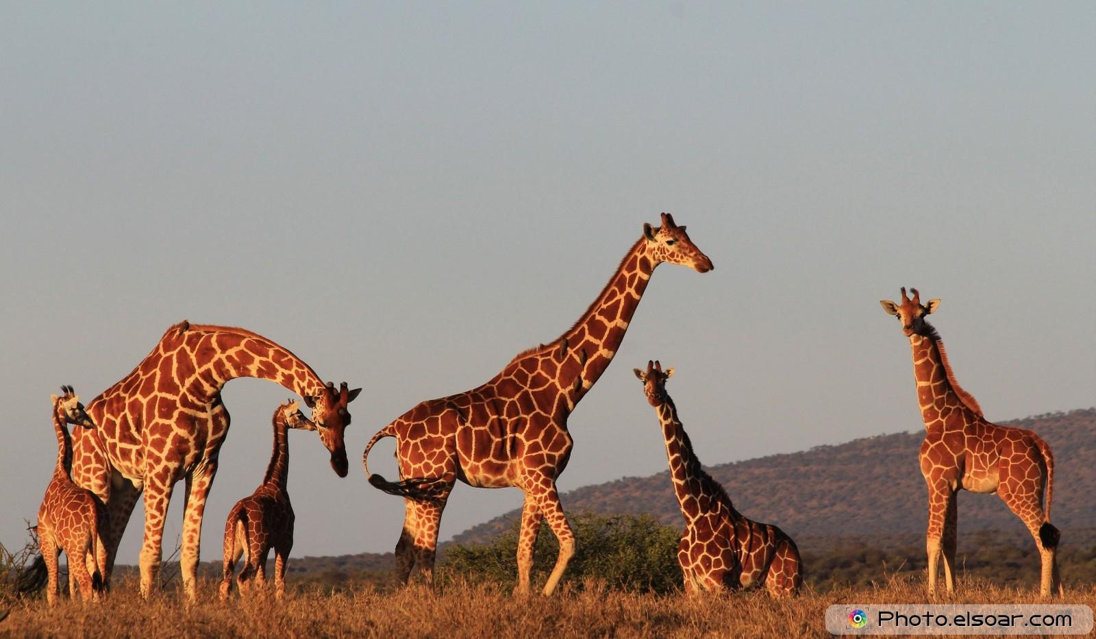 25 most beautiful giraffes pictures u2022 elsoar