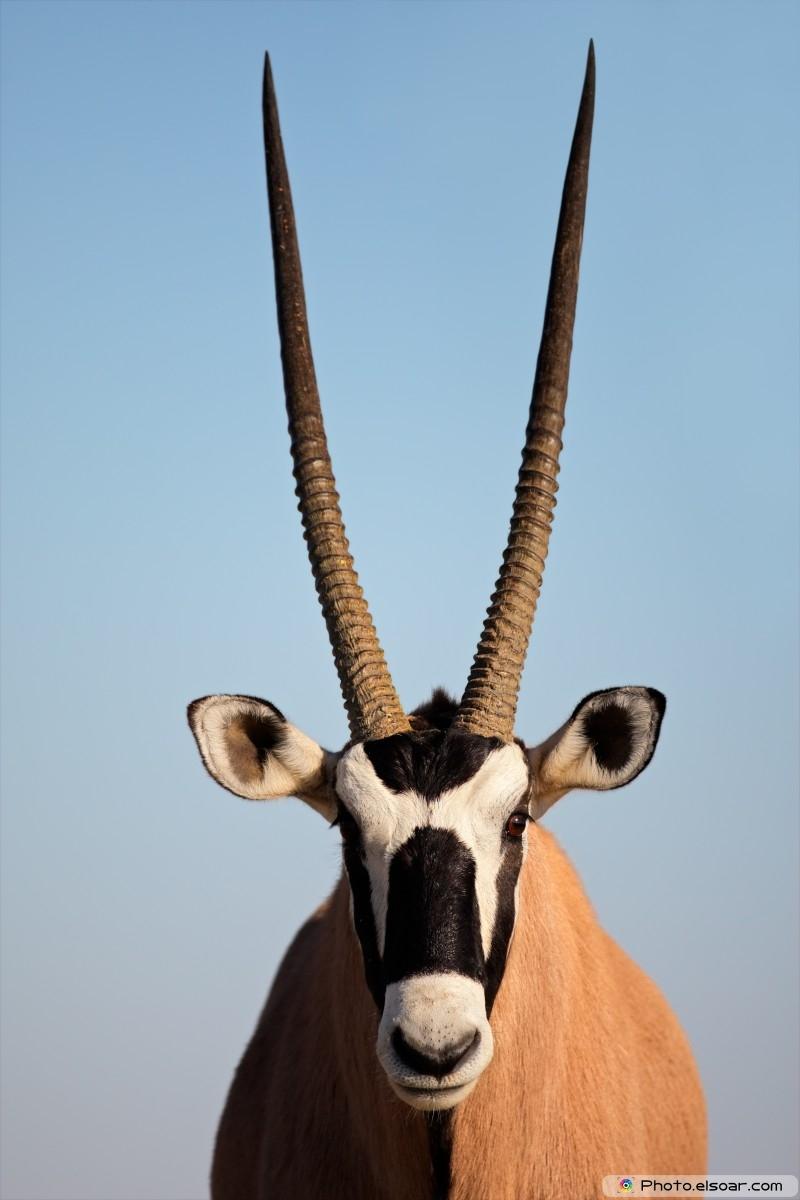 Gemsbok Antelope - Oryx Gazella