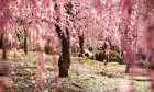 Most Fabulous Cherry Blossoms