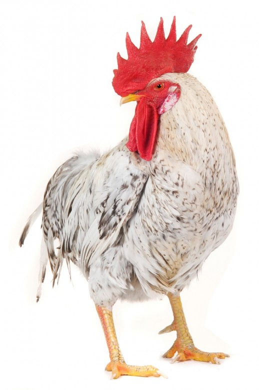 Poultry Picture 16