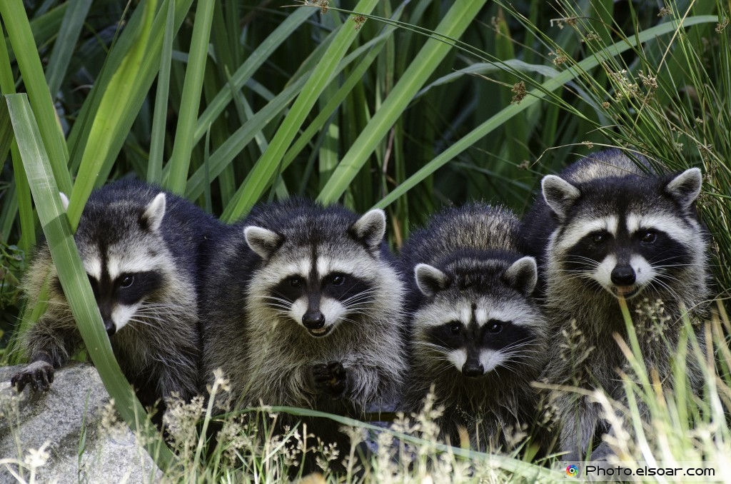 Racoon Family In One Picture