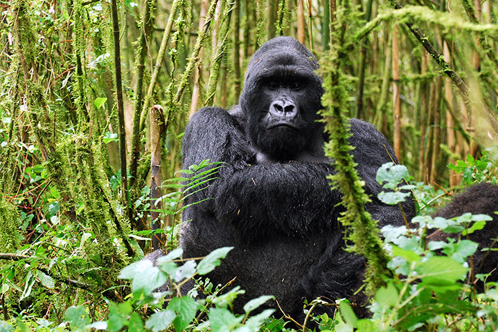 African silverback gorilla - photo#8