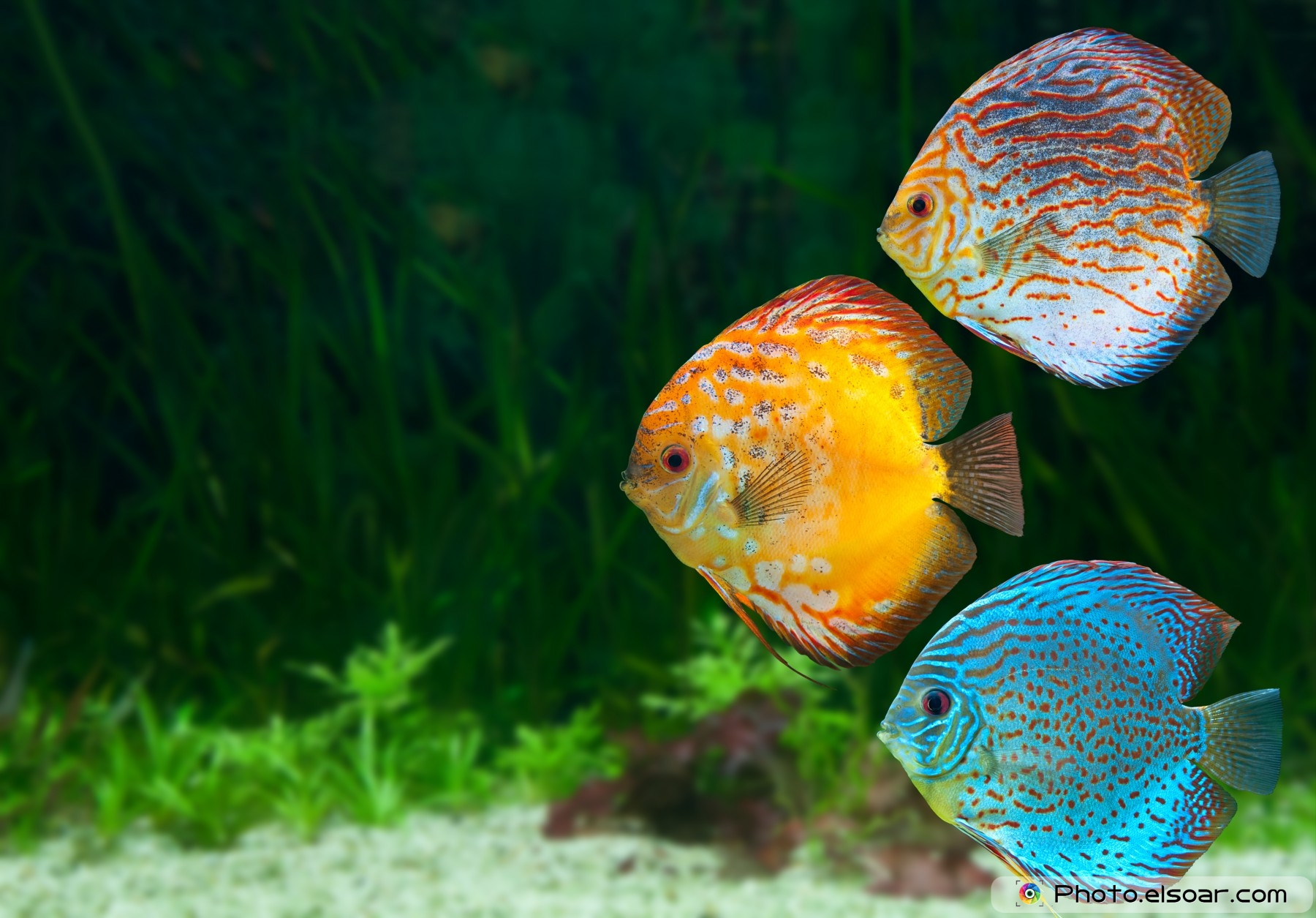 Freshwater fish amazon - Three Bright Discus Freshwater Fish Native To The Amazon River