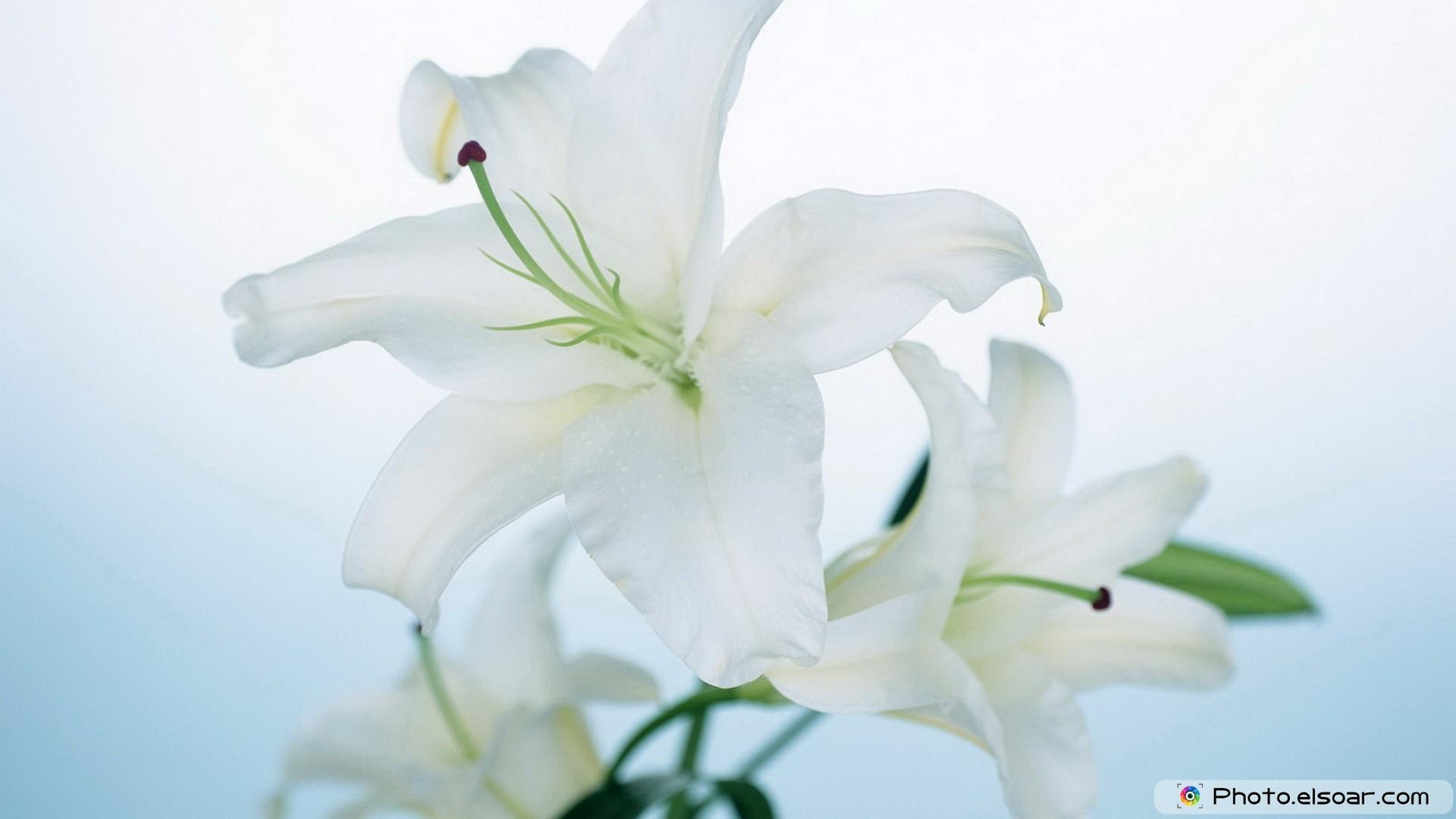 White Flower Is Very Beautiful Free Wallpaper