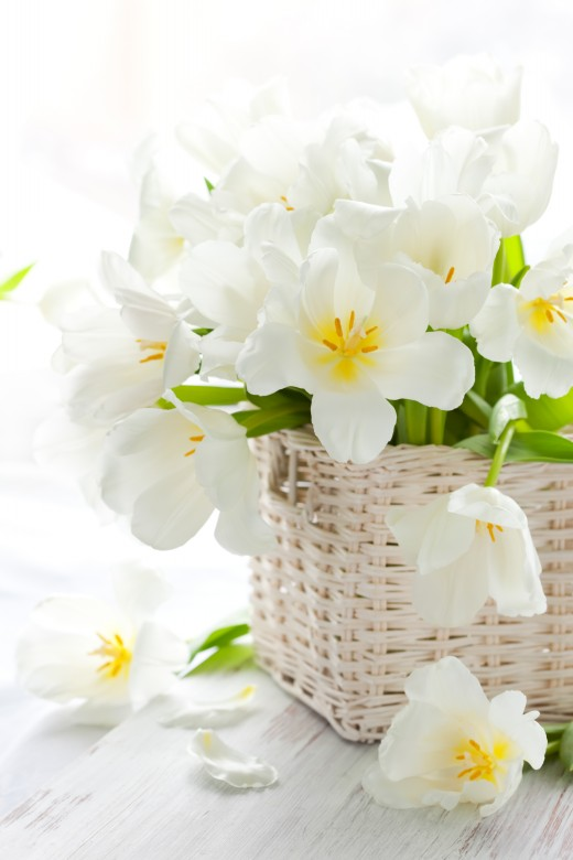 Hd Lily Flowers Pictures White Tulips Elsoar