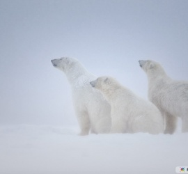White Polar Bears Over Snow