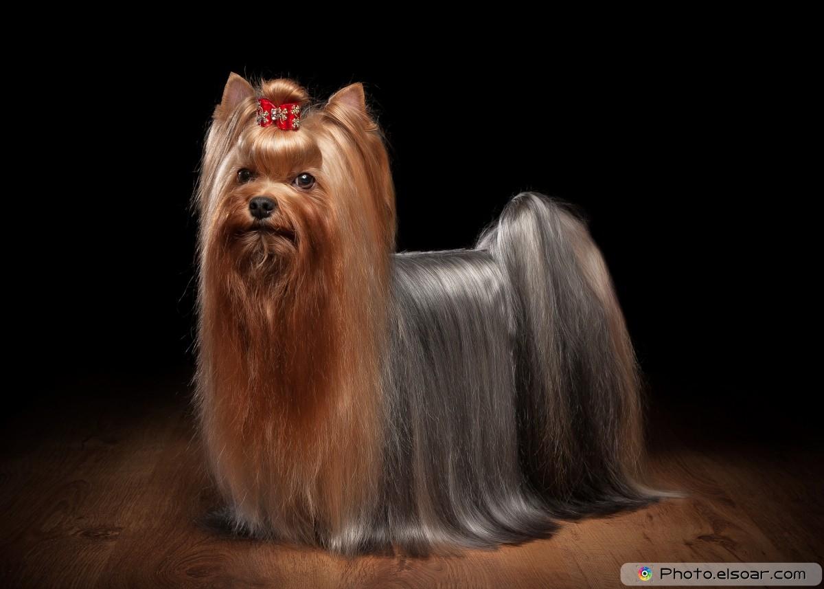Wonderful Yorkie Puppy