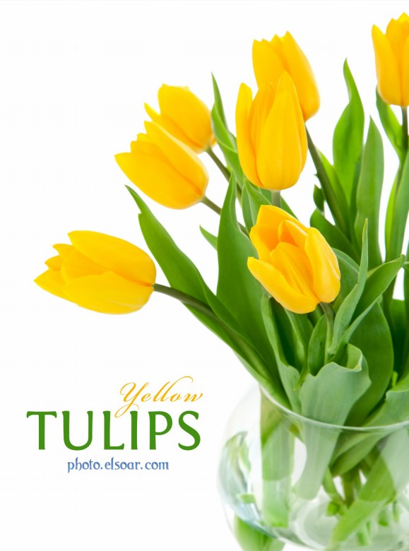 yellow tulips flowers  elsoar, Natural flower