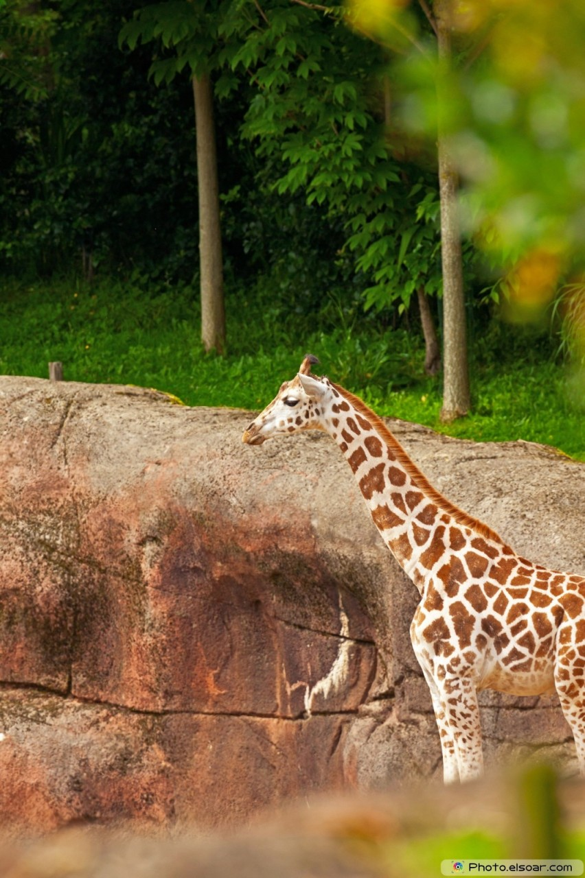 Young rothschild giraffe in zoo.