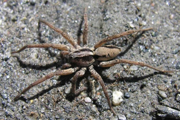 wolf spider beige regular